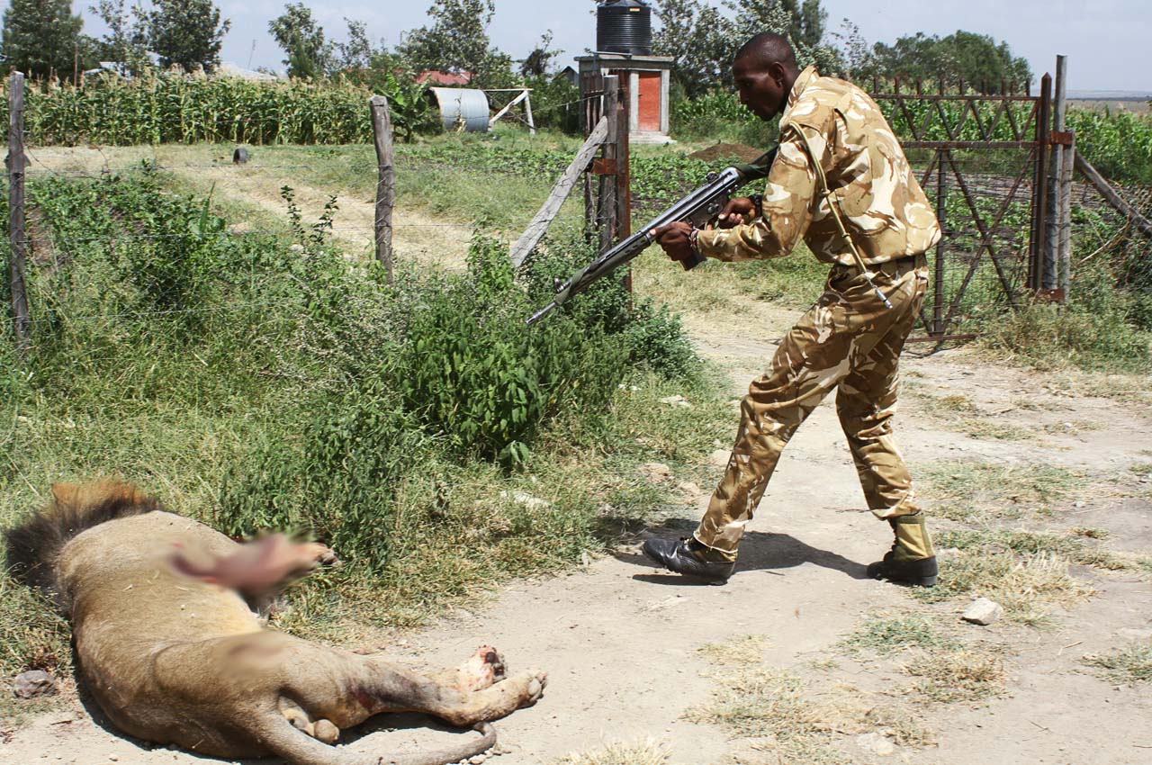 A ranger of Kenya Wildflife Serive (KWS) shoots a lion after the feline ran away from  the Amboseli National Park in  Kaijado on March 30, 2016. / AFP / STRINGER