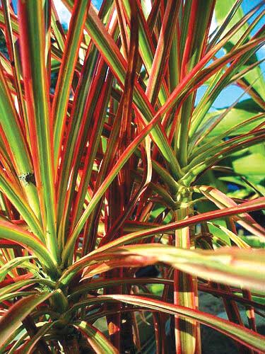Red edged Dracaena (Dracaena Maginata)
