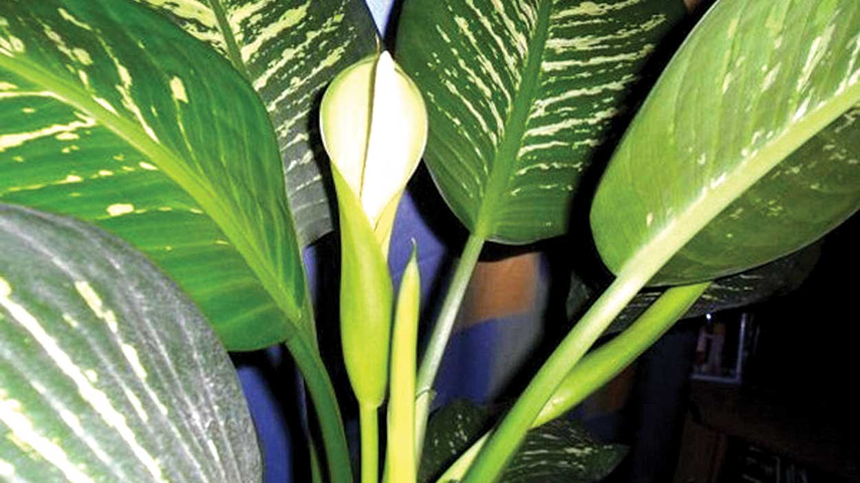 Flowering Dieffenbachia exotica, suitable for dark locations.
