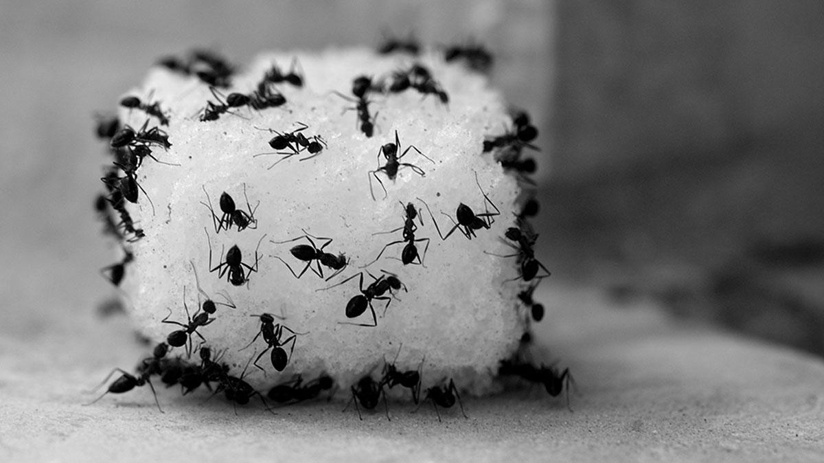 ANTS-and-SUGAR