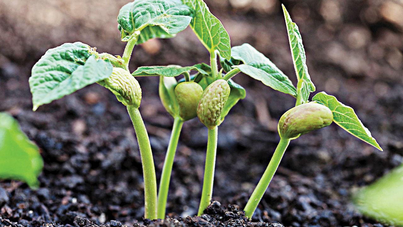 Bean seedlings emerging from humus-rich soil