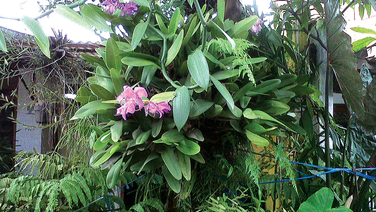 Epiphytic orchid plant(Cattleya labiata) growing attached to guava tree.
