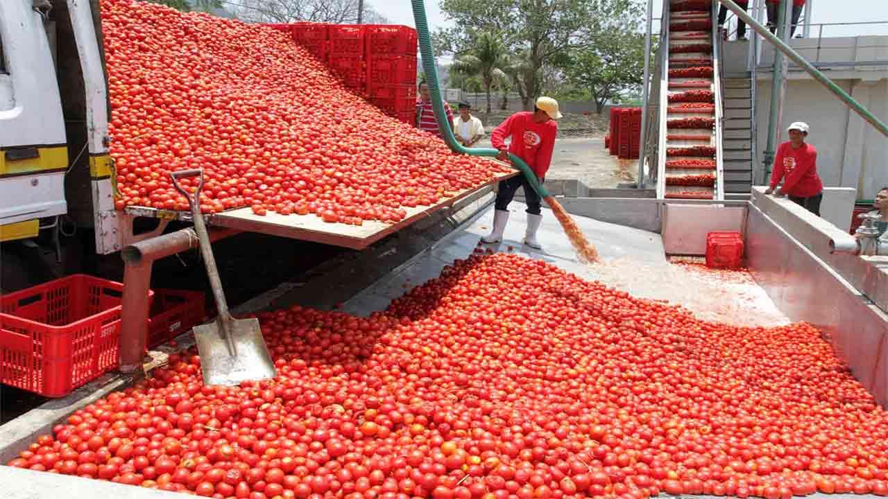 Dangote Tomato Processing Factory in Kadawa, Kano State