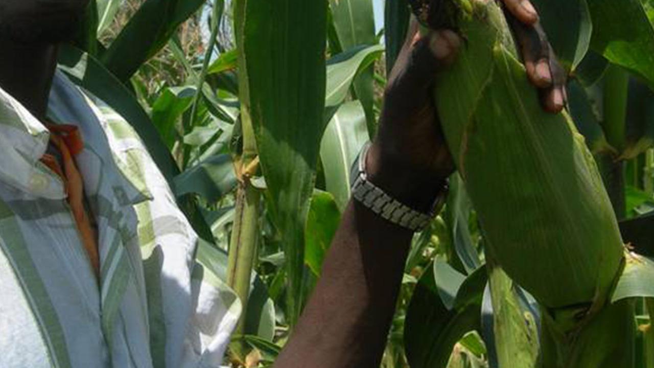 Farmer-on-a-maize-farm