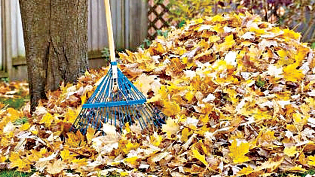 Gardeners' Gold; leaves are source of carbon (organic) reserves.