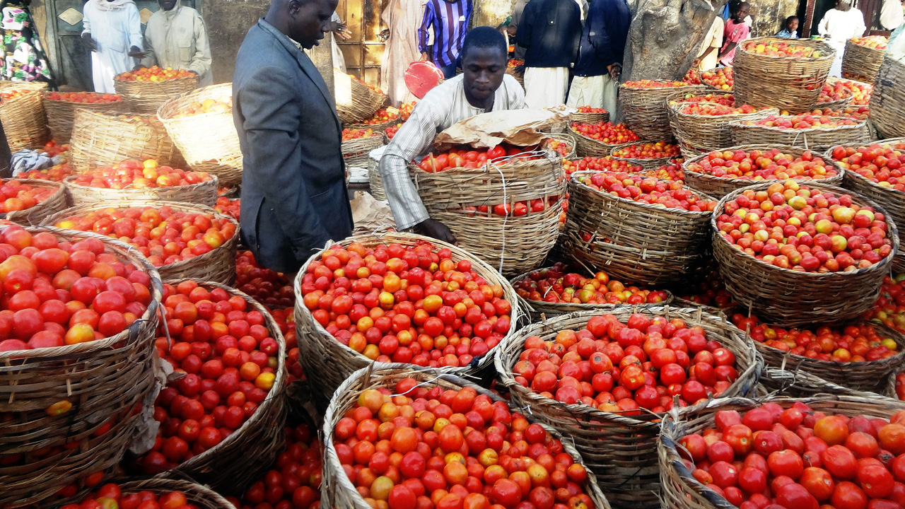 (FILES) This file photo taken on January 15, 2016 shows a trader sorting baskets of tomatoes at the Yankaba vegetables market in northern Nigerian city of Kano, on January 15, 2016. A state government in northern Nigeria on May 24 declared a state of emergency after moths destroyed swathes of tomato fields, threatening supplies of the country's leading staple food. Nigerian farmers describe the outbreak as 'tomato Ebola' after the deadly disease that devastated West Africa in 2014. / AFP PHOTO / -