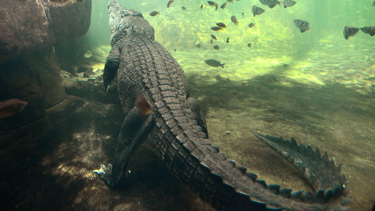 (FILES) A file photo taken on October 3, 2012, shows a 700 kilogram crocodile called Rex - who is one of the world's largest crocodiles - in his enclosure at WILD LIFE Sydney Zoo. A woman is feared dead after being taken by a crocodile following a late night swim with a friend at a beach in northern Australia, police said on May 30, 2016, The women went for a stroll on Thornton Beach in the Cape York region of Queensland state before making a fateful decision to go for a dip in an area known to be infested with crocodiles. / AFP PHOTO / WILLIAM WEST