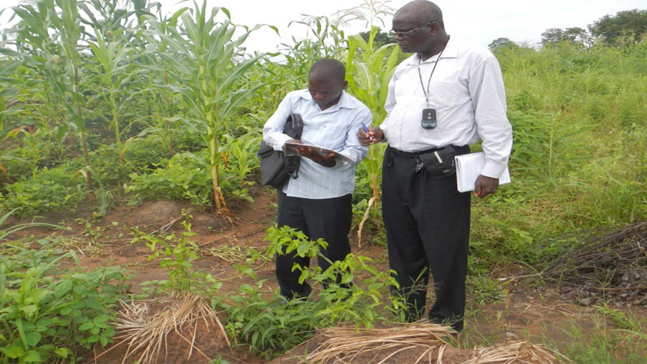 YIIFSWA project manager evaluates seed yam plants in Nigeria | by IITA Image Library. PHOTO: IITA