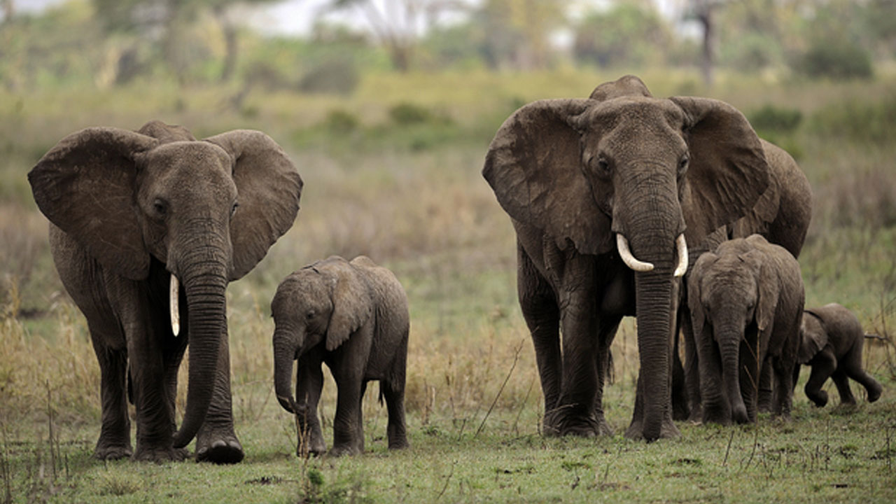 Image result for Nigeria joins Elephant Protection Initiative