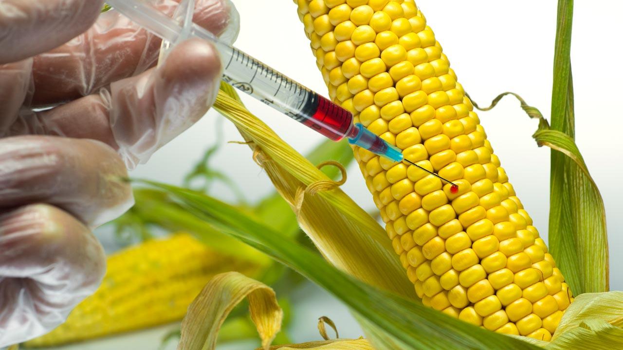 GMO maize. PHOTO: euobserver.com