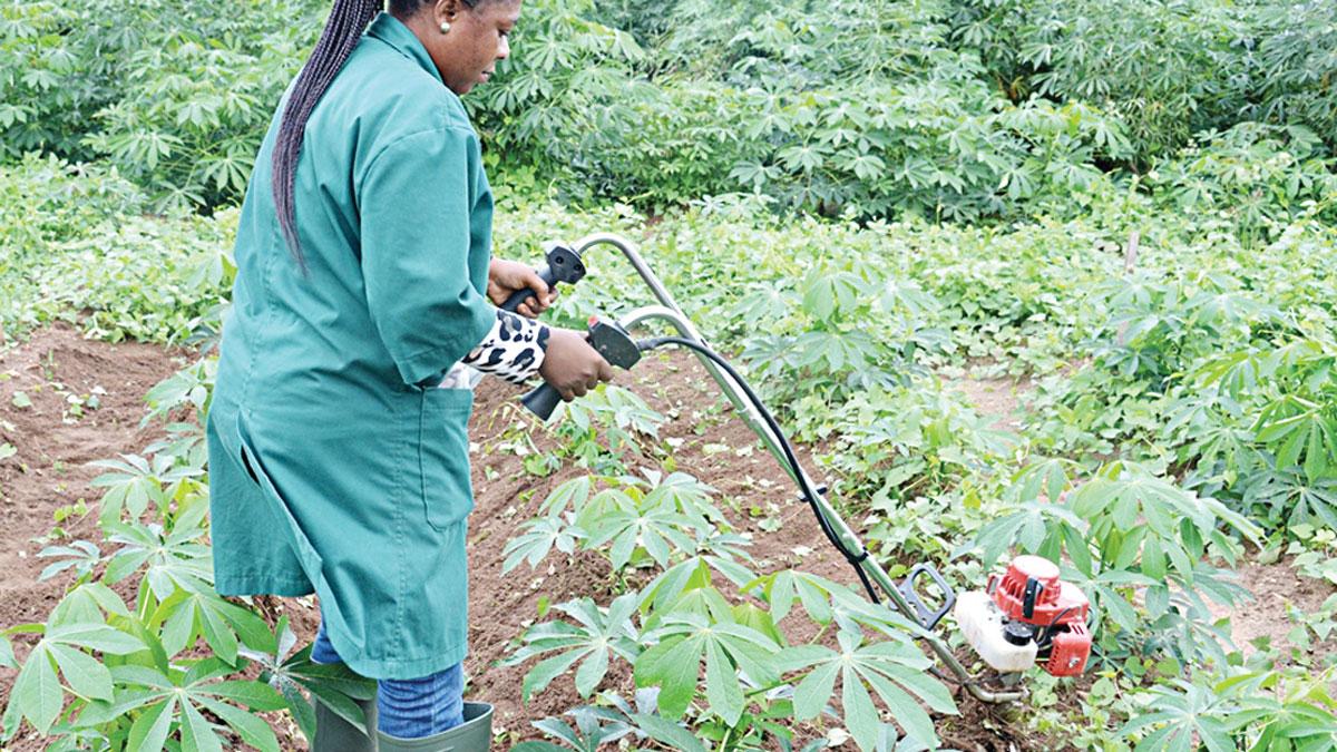 Edo set to clear 1,000ha for women cassava growers