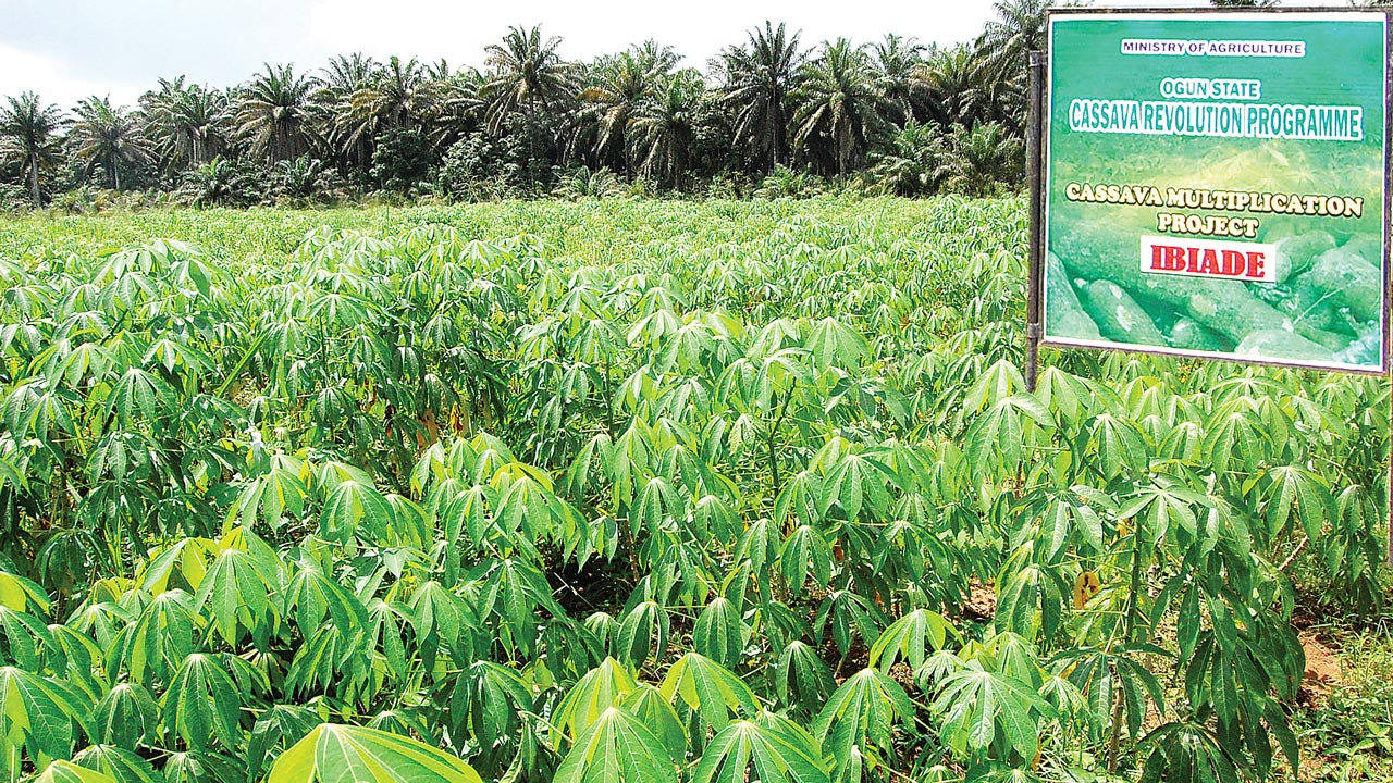 Ogun State Cassava Multiplication Project, Ibiade, part of the state's programme to boost cassava production.