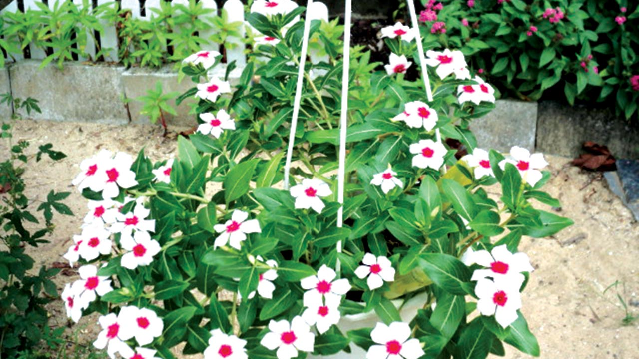 Rose Periwinkle Friendly Plant Saturday Magazine The Guardian