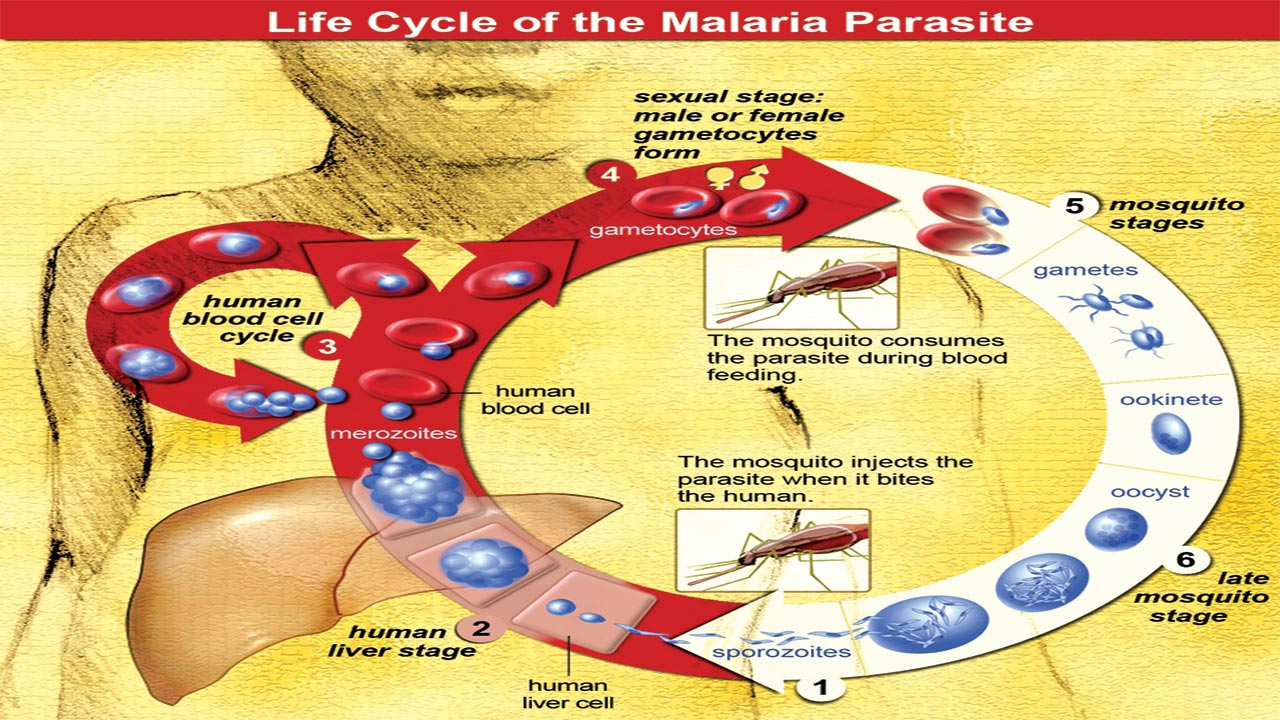 Life-Cycle-of-Malaria-Parasite