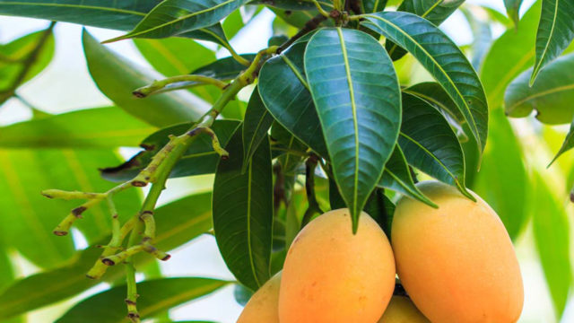 Can Mango Leaves Cure Diabetes High Blood Pressure The Guardian