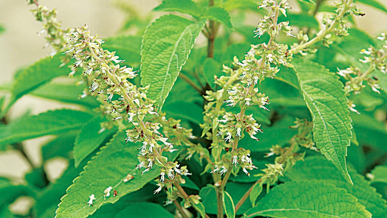Ten Nigerian medicinal plants proposed by NMC for standardisation