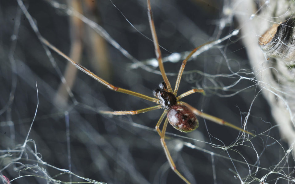 TO GO WITH AFP STORY BY MARIETTE LE ROUX This undated handout picture made available by Professor Maydianne Andrade of the University of Toronto on September 20, 2016, shows an adult male brown widow (Latrodectus geometricus) approaching a female on the female's web (part of female visible in upper corner). Widow spider males, known for their tendency to end up as a post-coital snack, have developed a rather gruesome method of saving their own skins, scientists revealed on September 21, 2016. To avoid becoming the lunch of adult females, some males have taken to inseminating juveniles which have no external genitalia yet -- penetrating right through their exoskeletons to deposit sperm.  / AFP PHOTO / Courtesy of Professor Maydianne Andrade / Ken Jones /