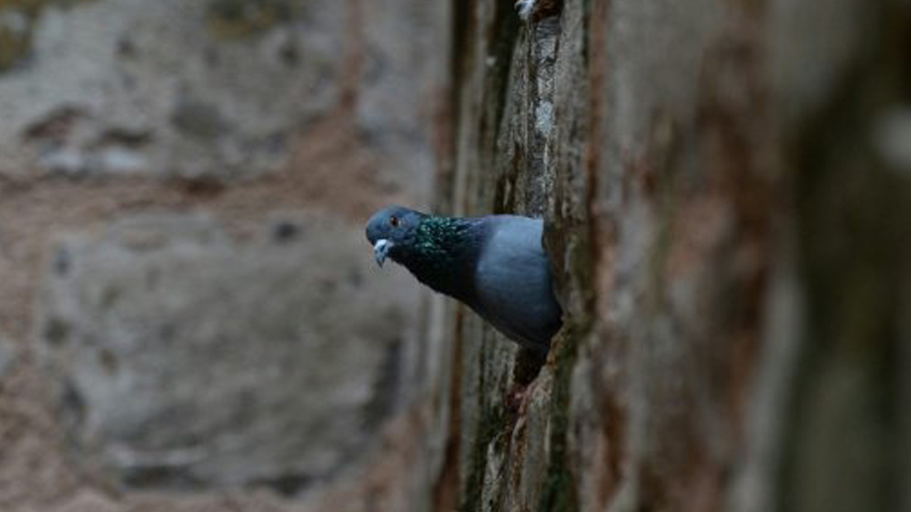 India has a history of detaining pigeons over fears they are being used for espionage by Pakistan. PHOTO: AFP/File