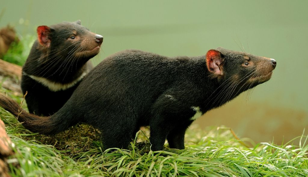 Mother's milk from Tasmanian devils could help the global fight against so-called super-bugs that resist antibiotics, Australian researchers say Mother's milk from Tasmanian devils could help the global fight against so-called super-bugs that resist antibiotics, Australian researchers say (AFP Photo/Greg Wood)