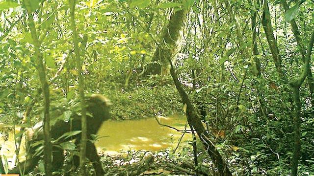 The camera images of the Chimpanzee in the Omo-Shasha-Oluwa (OSO)