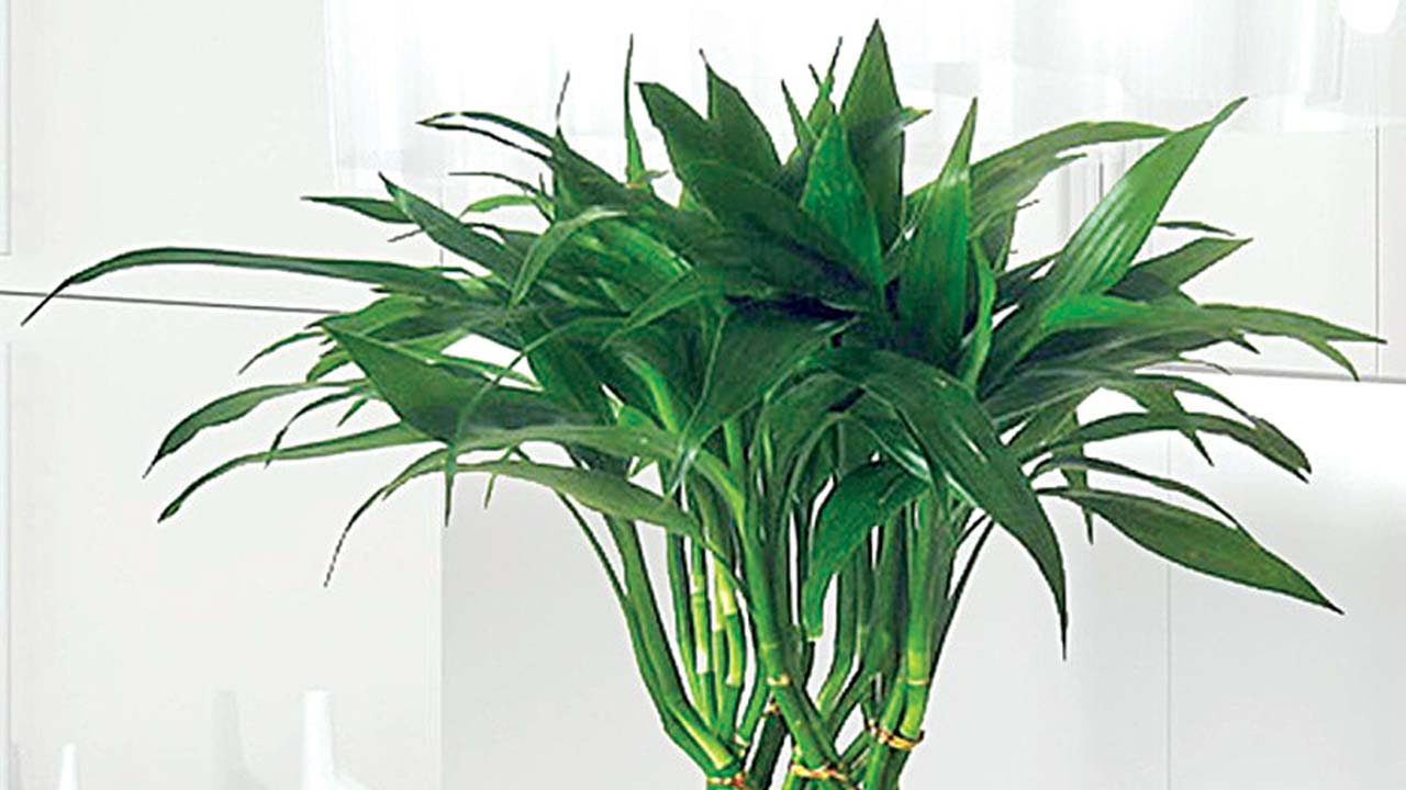 unbelievable house plant with green and pink leaves. House plants for lazy gardeners Saturday Magazine The Guardian  unbelievable house plant with green and pink leaves Best 100 Unbelievable Plant With Green And Pink Leaves
