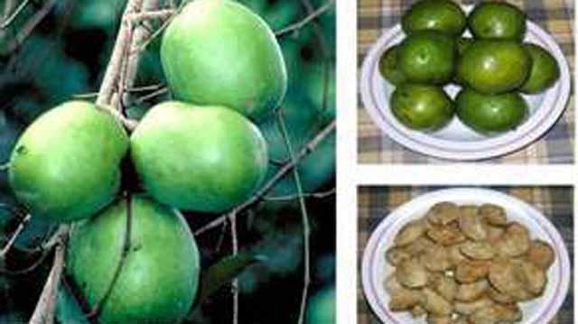 African bush mango