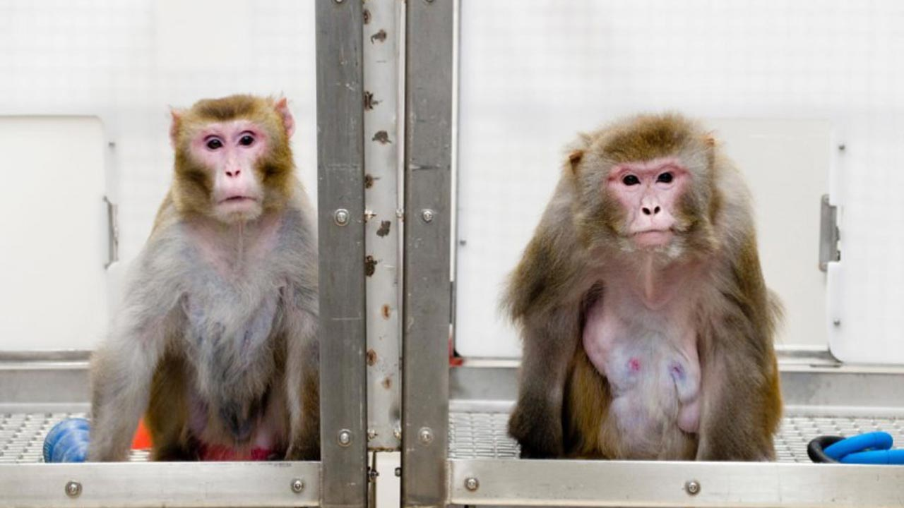 Rhesus monkeys in University of Wisconsin calorie-restriction diet trial… Canto, 27 (left), on a restricted diet, and Owen, 29 (right), on an unrestricted diet – Photo by Jeff Miller