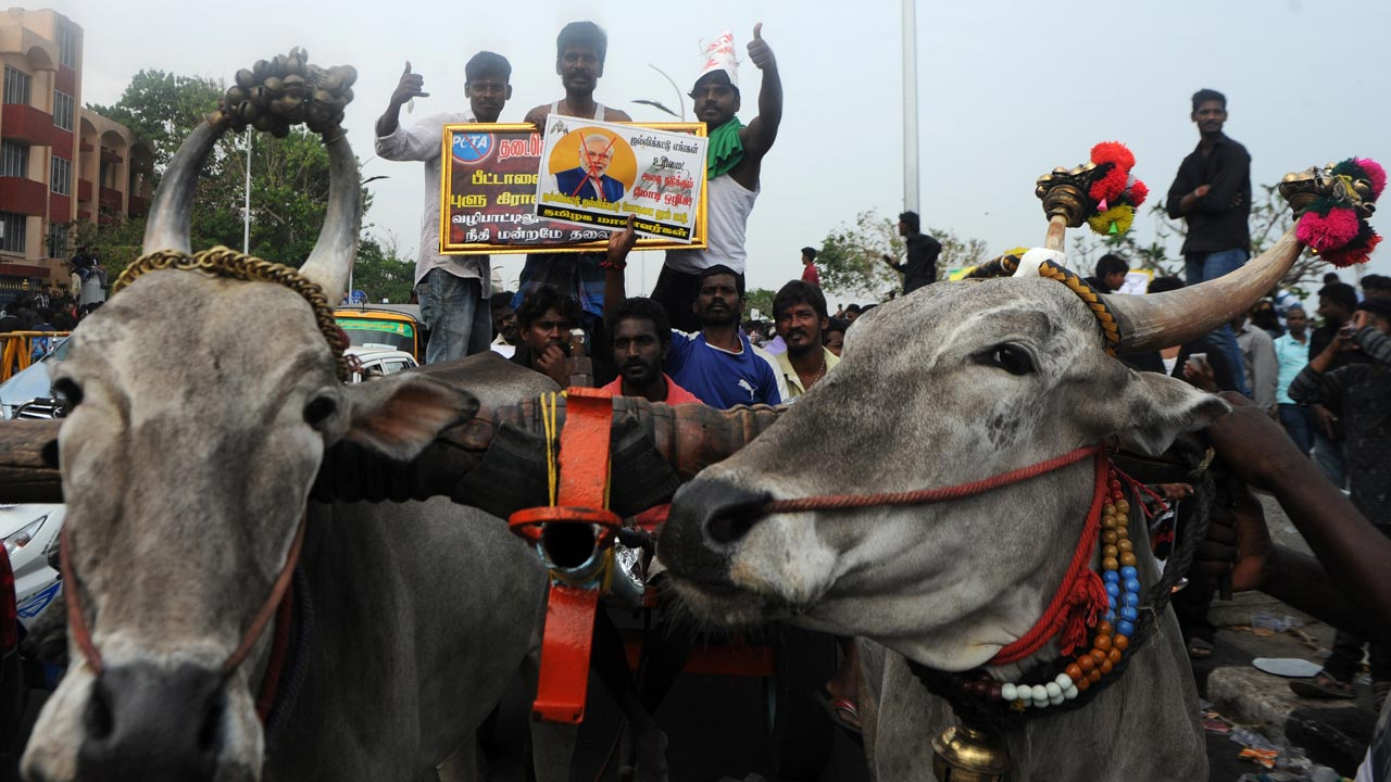 Indian protesters shout slogans beside bulls during a demonstration against the ban on the Jallikattu bull taming ritual in Chennai on January 20, 2017. Prime Minister Narendra Modi refused January 19, to overturn a Supreme Court ban on a festival featuring young men wrestling with bulls that has brought thousands onto the streets of southern India to protest. Residents of the southern state of Tamil Nadu say the Jallikattu festival is a crucial part of their culture and are demanding the ban be lifted. ARUN SANKAR / AFP
