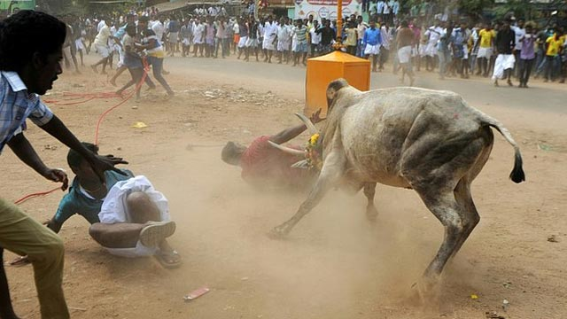 Two people were gored to death Sunday in a bull-wrestling festival in southern India, a report said, a day after a ban on the controversial sport was overturned. PHOTO: AFP