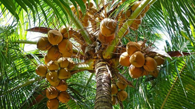 Coconut: Depletion of trees raises fear of extinction ...