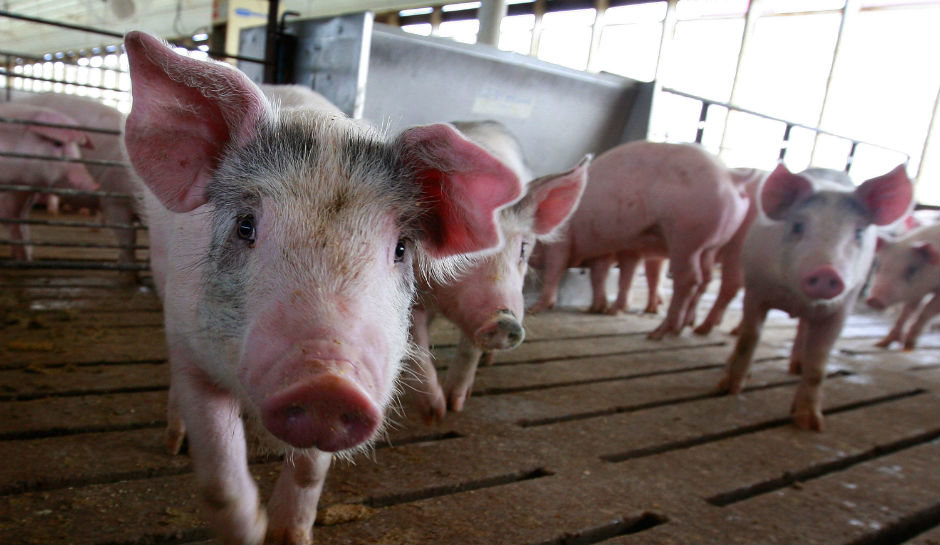 Pig organs could soon be transplanted into humans