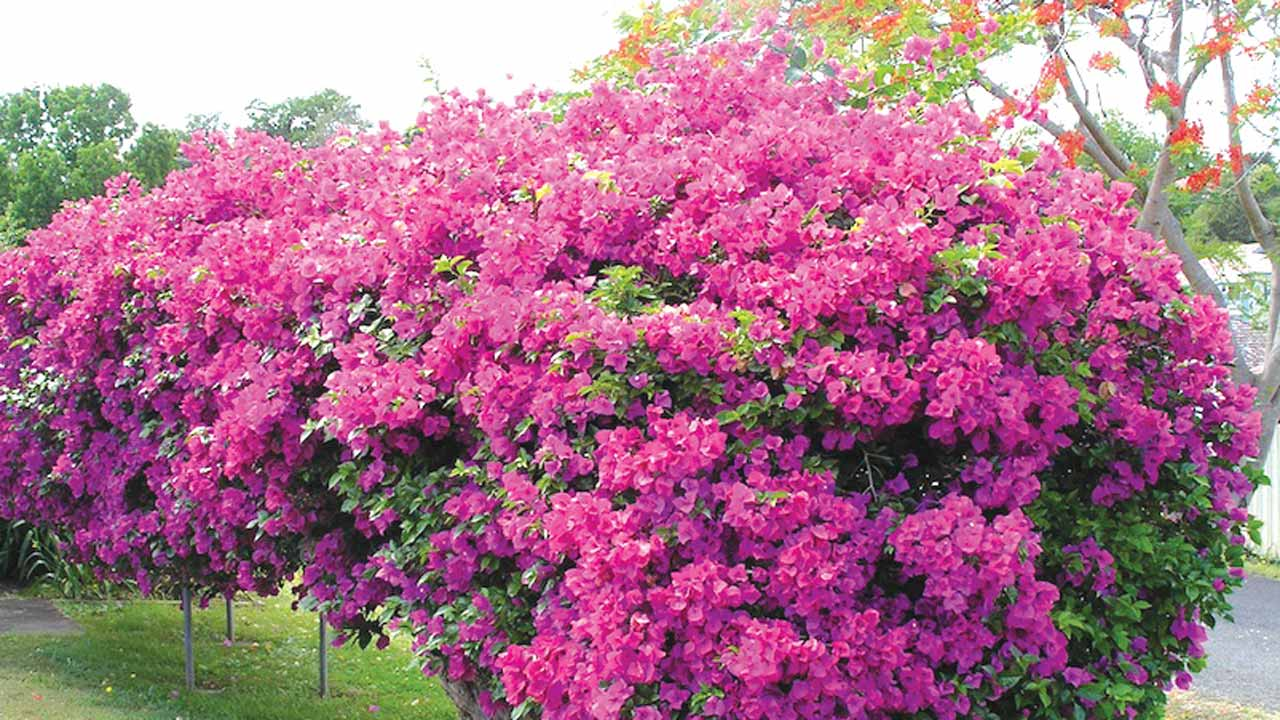 Bold, beautiful Bougainvillea \u2014 Saturday Magazine \u2014 The Guardian ...