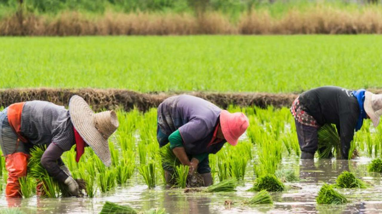 Image result for Rice farmers, millers in Adamawa commend Border closure