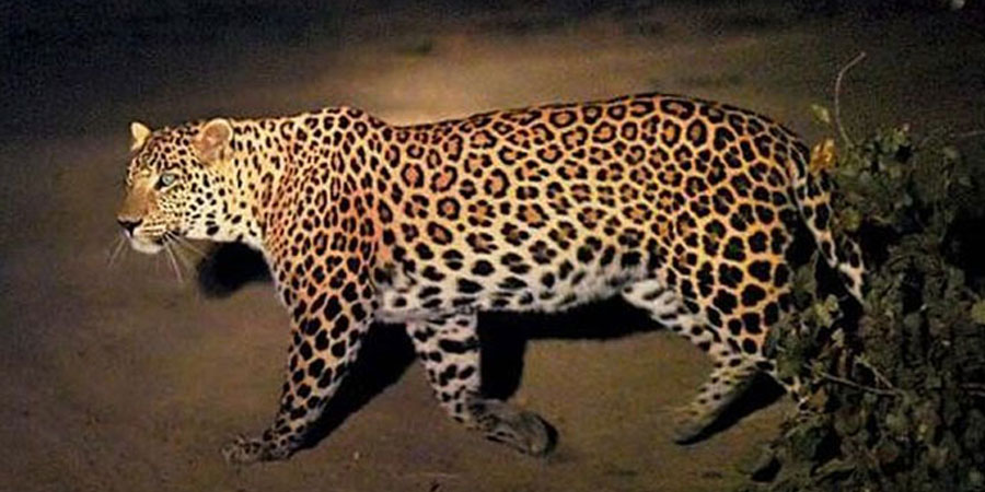 Leopard Shuts Down Nepal Airport World The Guardian Nigeria Newspaper And News