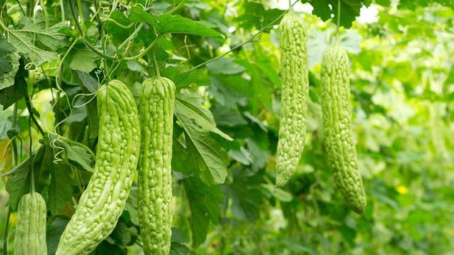 Bitter melon tops herbal remedies for diabetes features the guardian nigeria newspaper - Bitter melon culture ...