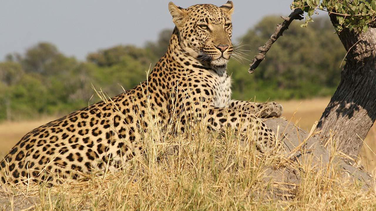 Lebensraum Leopard