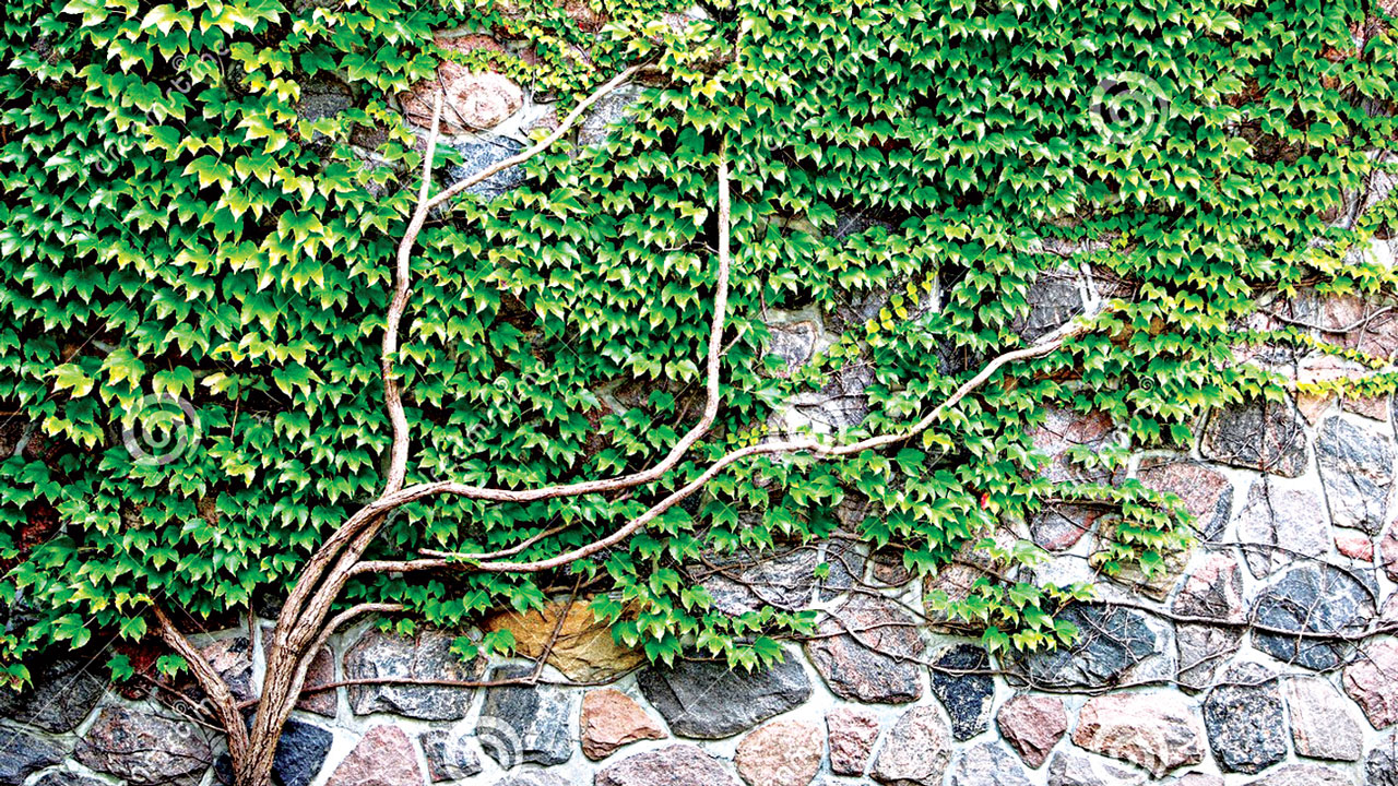 Clinging Vines For Walls