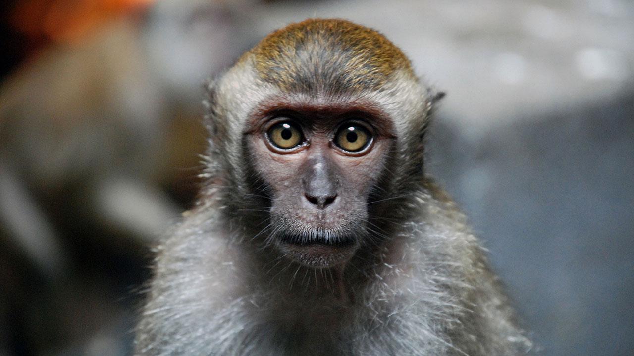 Monkeys provide new clues toward elusive HIV vaccine, cure