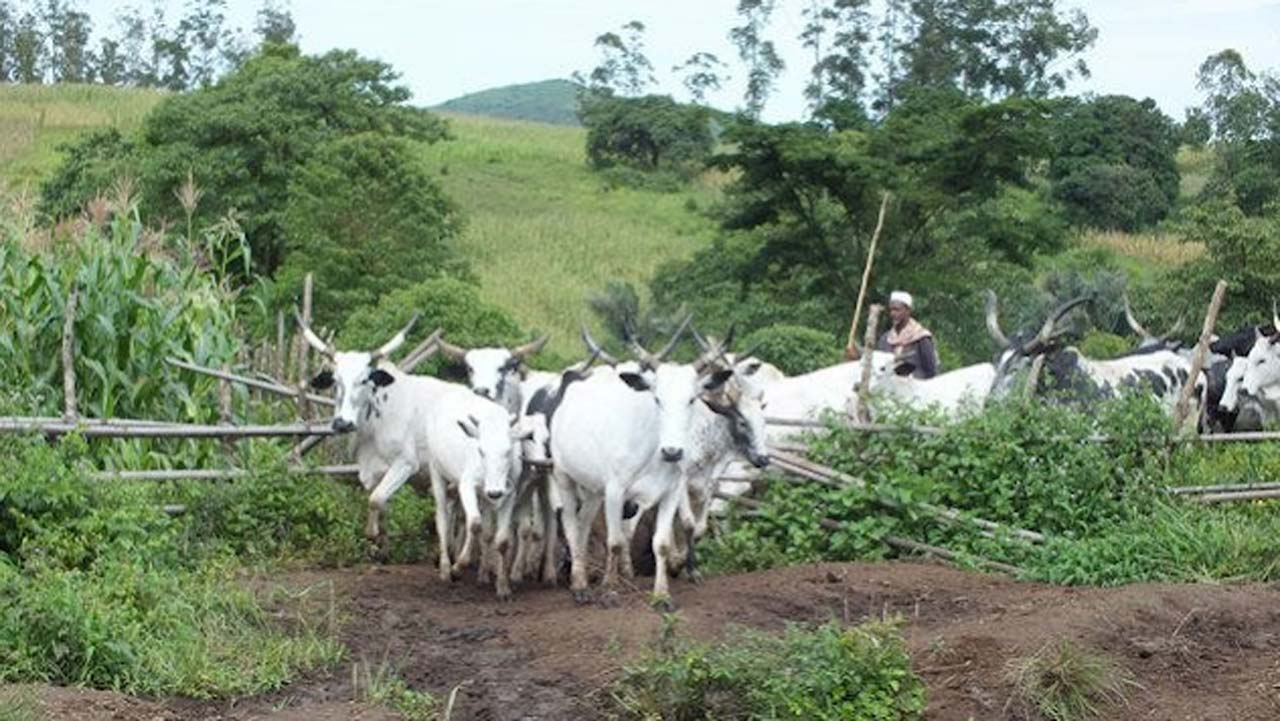 Plateau killers avenged cattle theft, says Miyetti Allah
