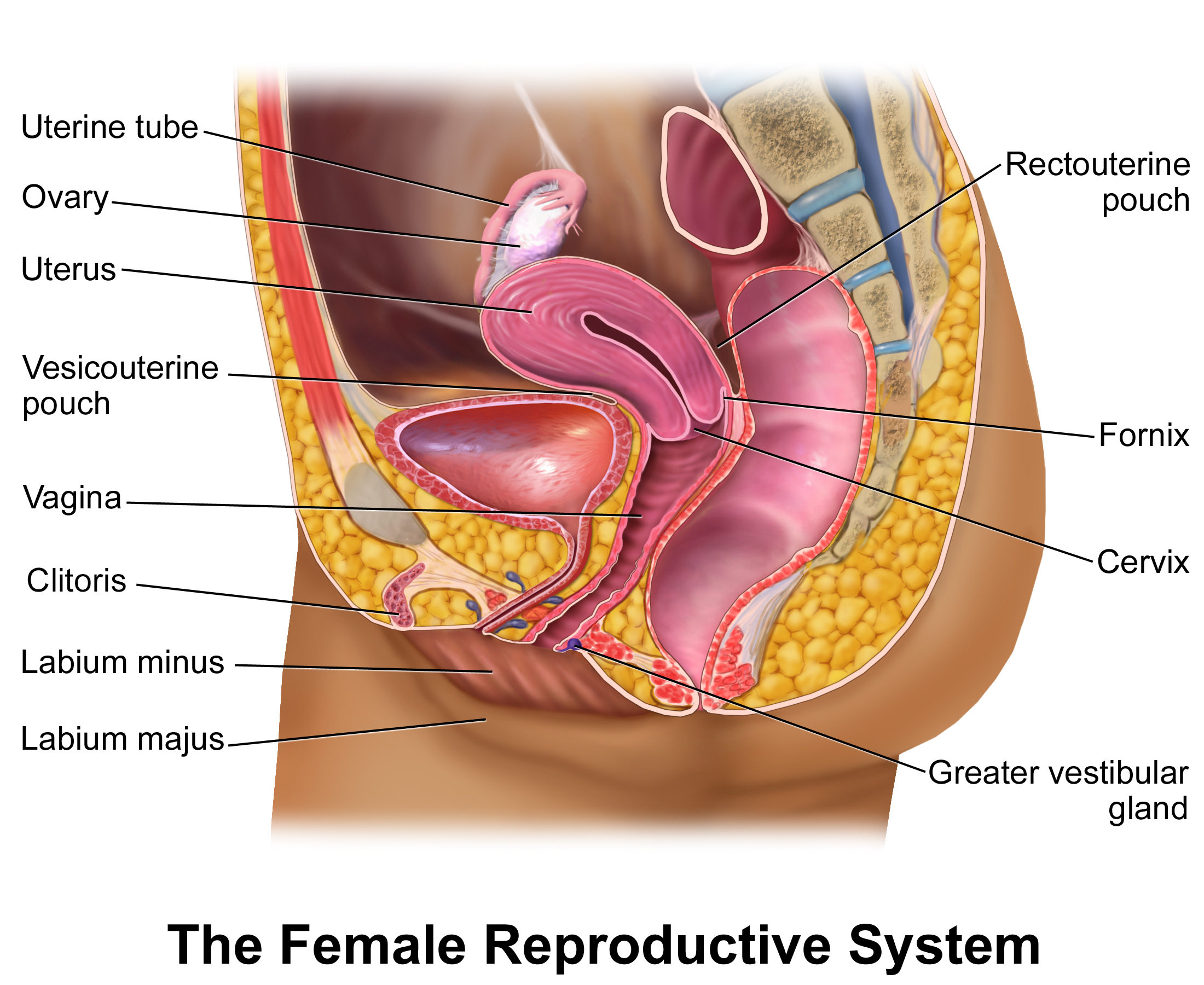The Diagram Of Female Reproductive Organs Diagram Of The Female