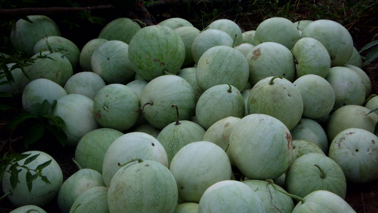 How to cultivate watermelon in Nigeria