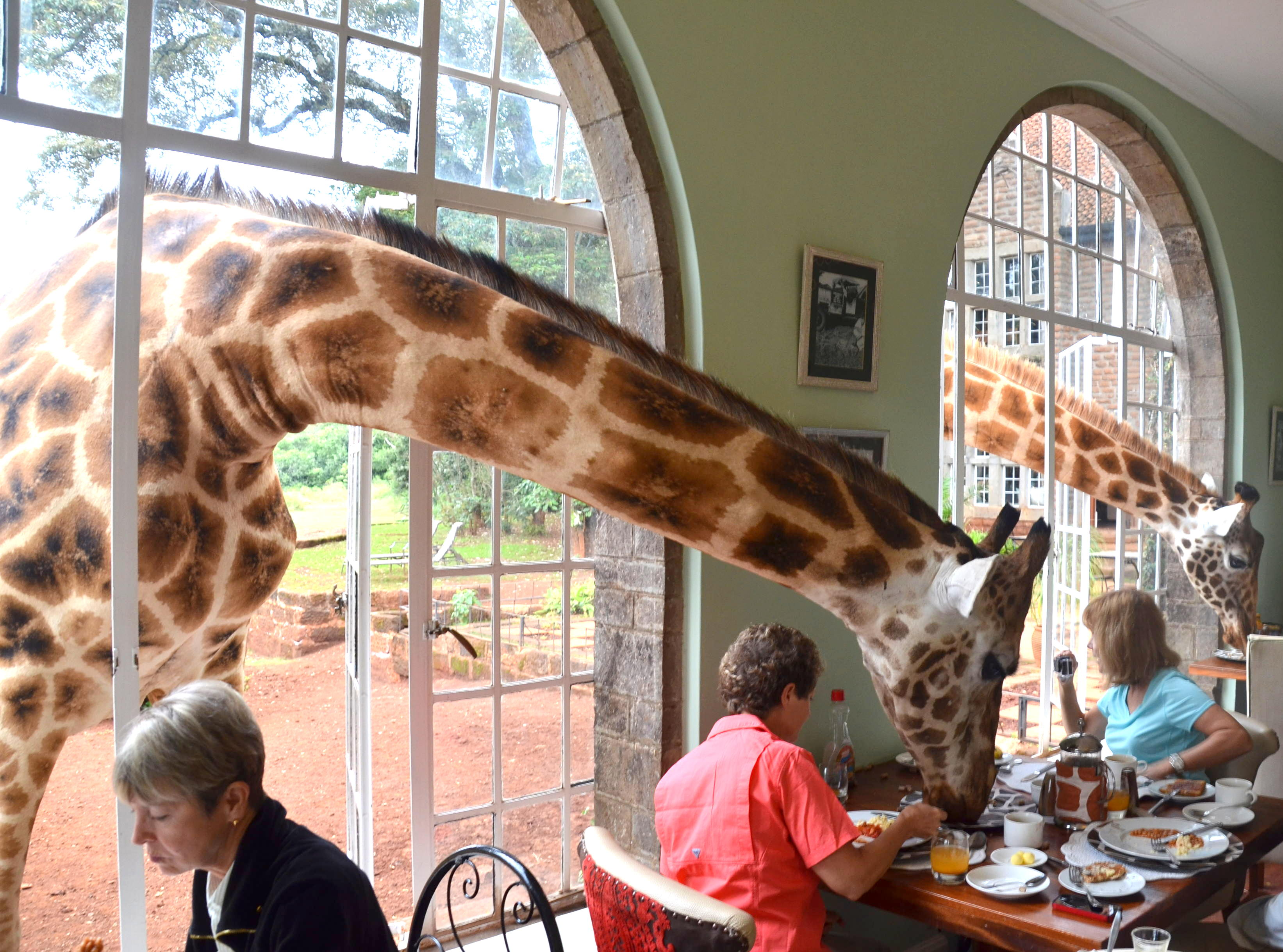 Giraffes eating with tourists