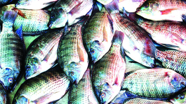 Beware! Unwholesome tilapia in Lagos markets - Guardian