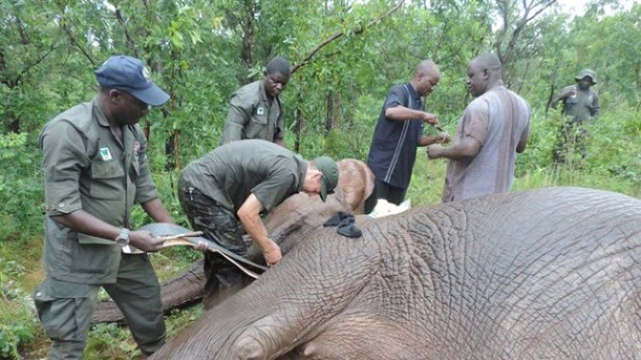 Elephants, almost extinct in Nigeria, conservationist laments