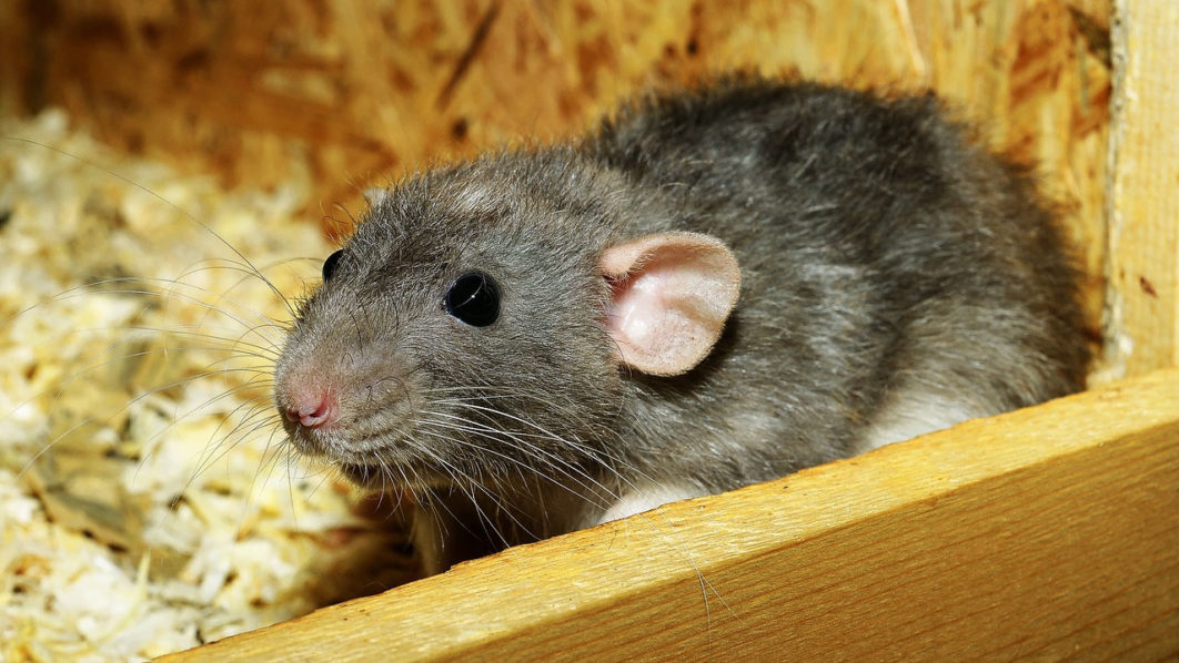 Rat Holds Up Flight In India For 12 Hours
