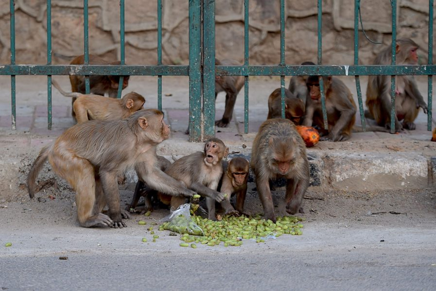 Monkeys steal Covid-19 test samples from health worker in India
