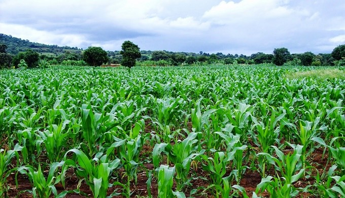 Experts harp on critical inputs as OCP supports 75,000 farmers