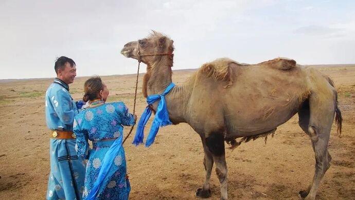 Loyal camel