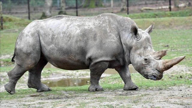 Female Rhino Drowns At Dutch Zoo During Mating Accident